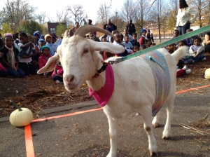 Goat shows off knitted sweater in Chicago Knit Mob event.